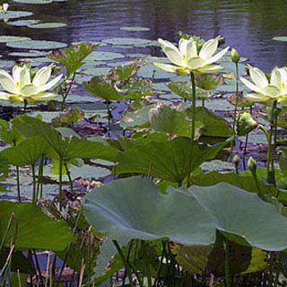 Picture of American Lotus