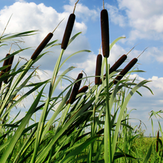 Picture of Cattail