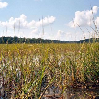 Picture of Wild Rice