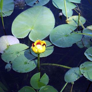 Picture of Yellow Water Lily