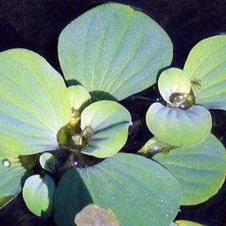 Picture of Water Lettuce