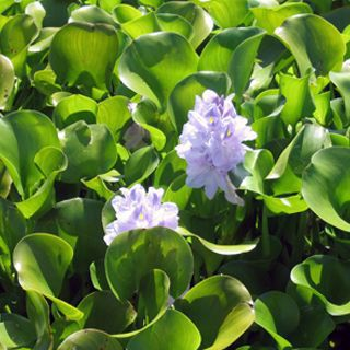 Picture of Water Hyacinth