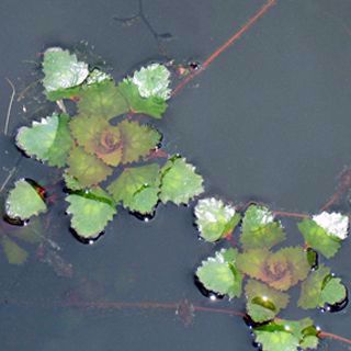 Picture of Water Chestnut