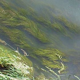 Picture of Sago Pondweed