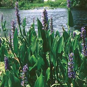 Picture of Pickerelweed