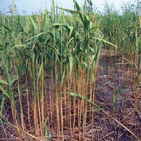 Picture of Phragmites