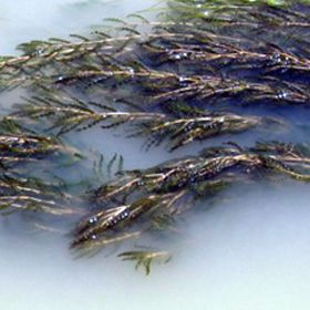 Picture of Curly-Leaf Pondweed