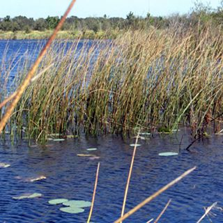 Picture of Bulrush
