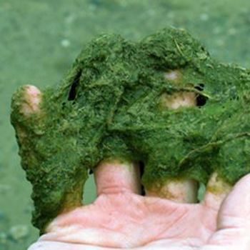 Picture for category Algae